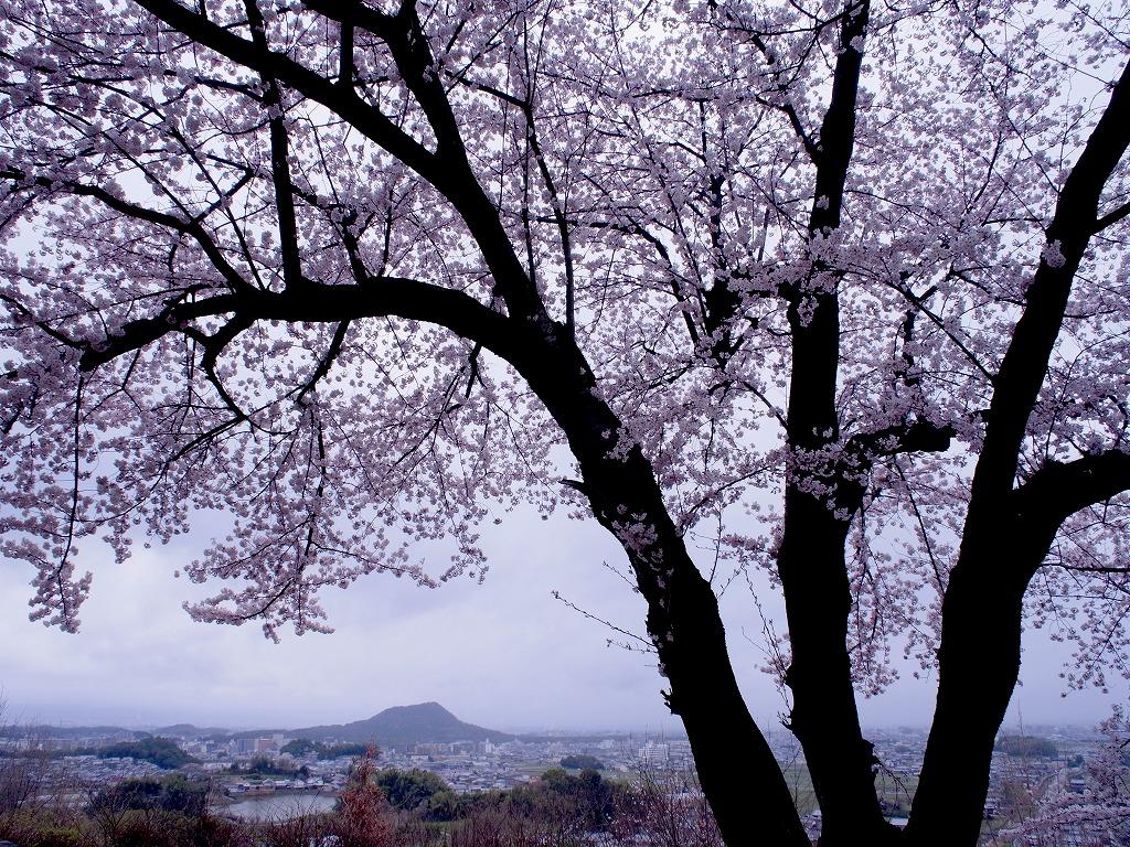 GXRで飛鳥川の桜並木を撮る