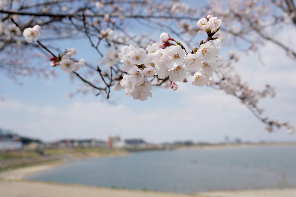 狭山池の桜・前編
