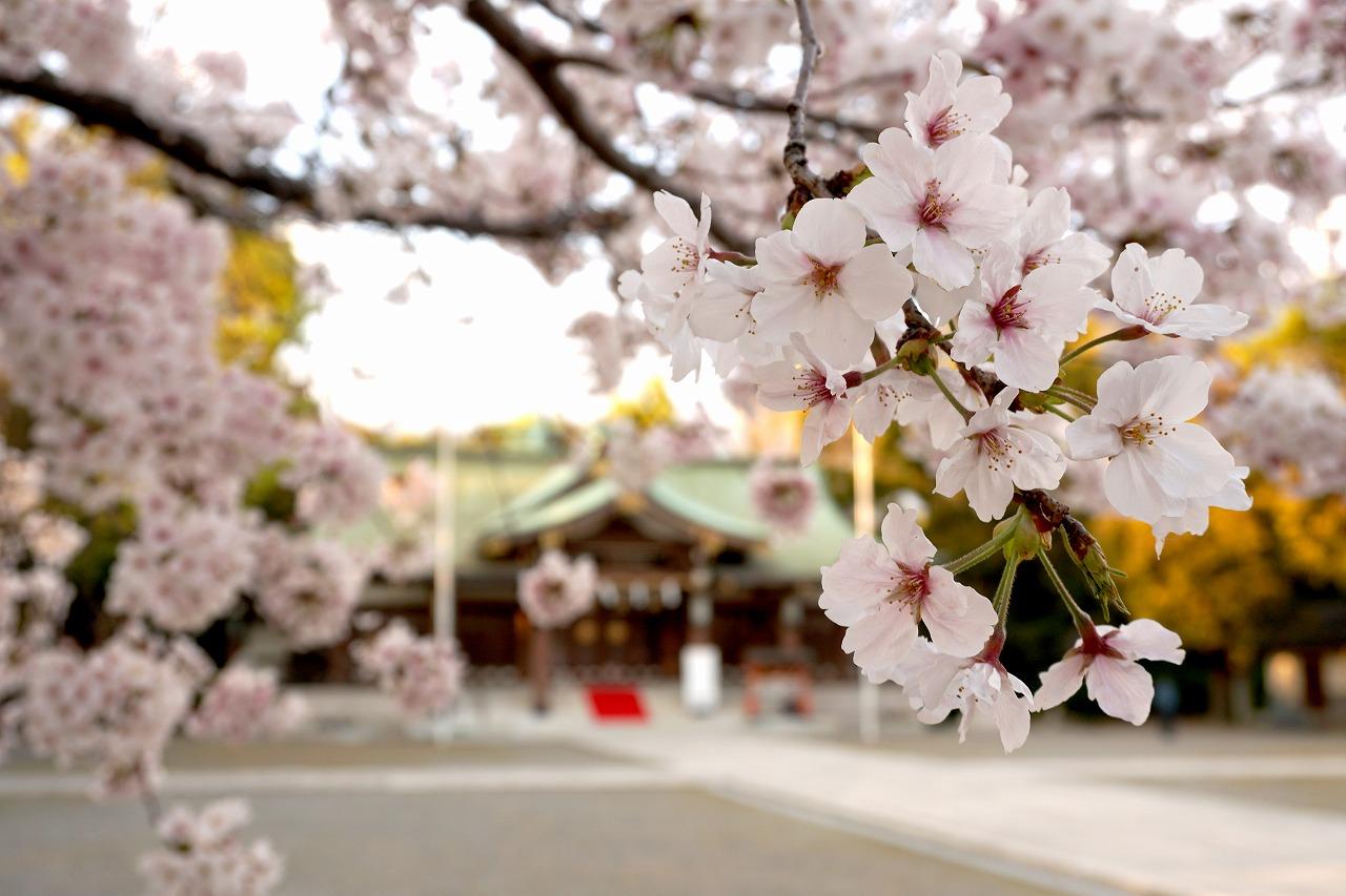 大阪護国神社の桜