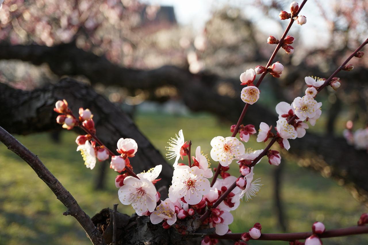 春の香の梅林