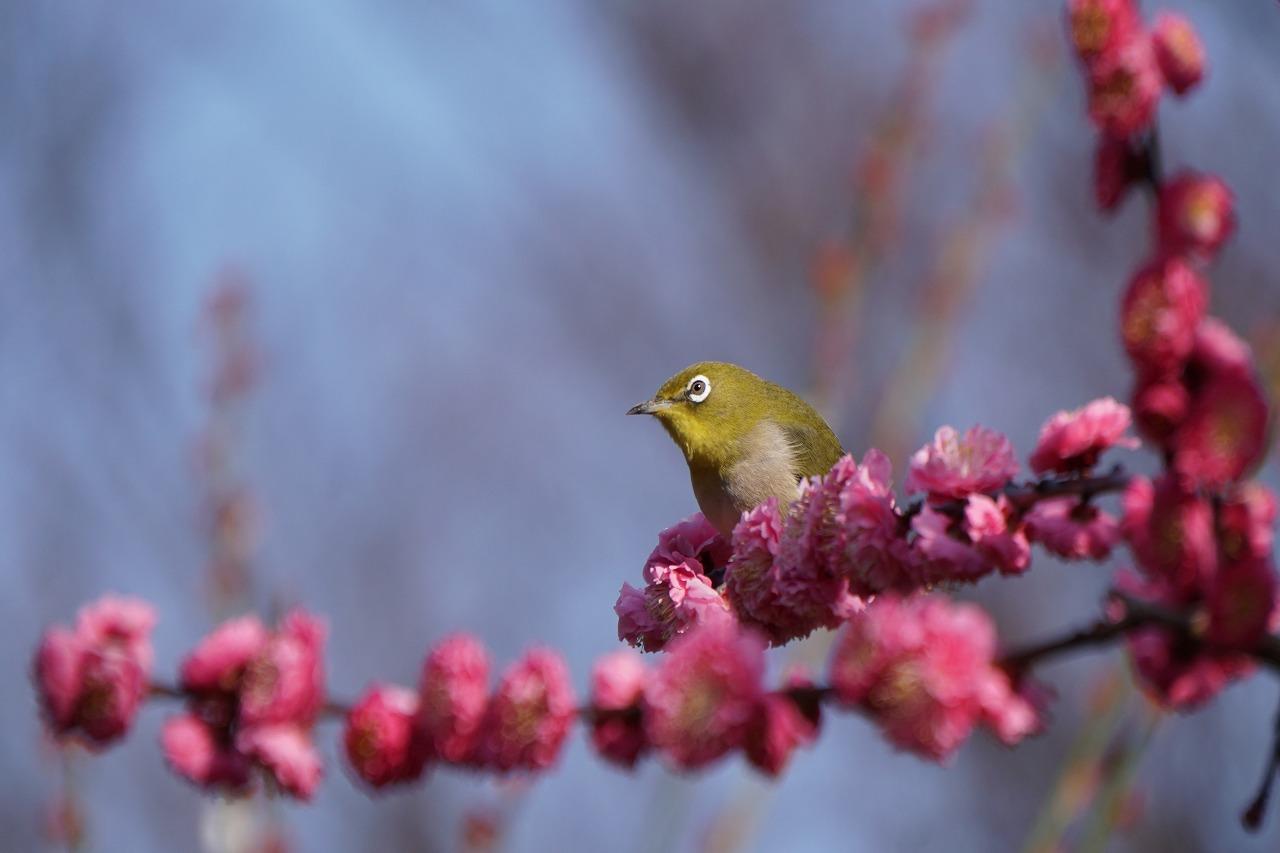 春の香の梅・メジロ・桃