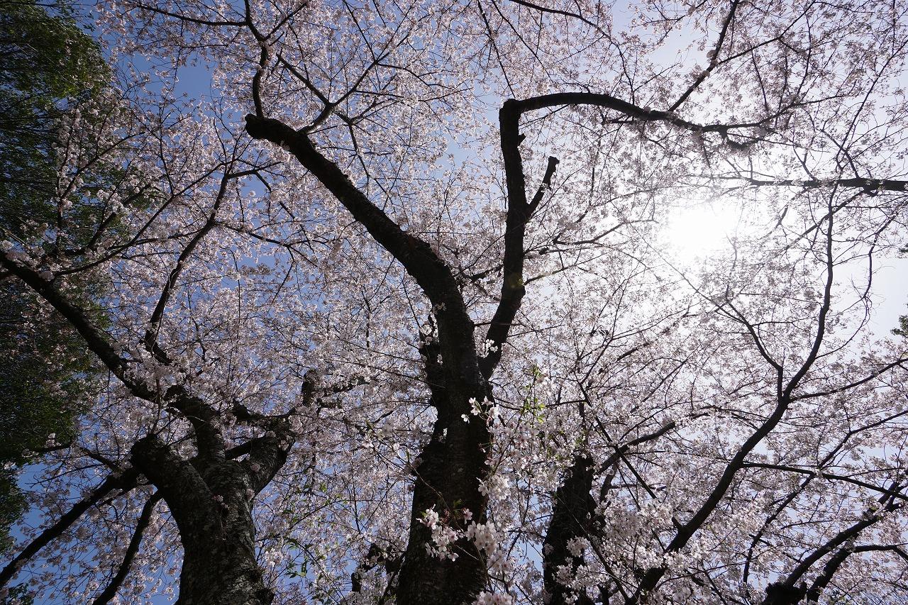 春の香の桜・飛鳥