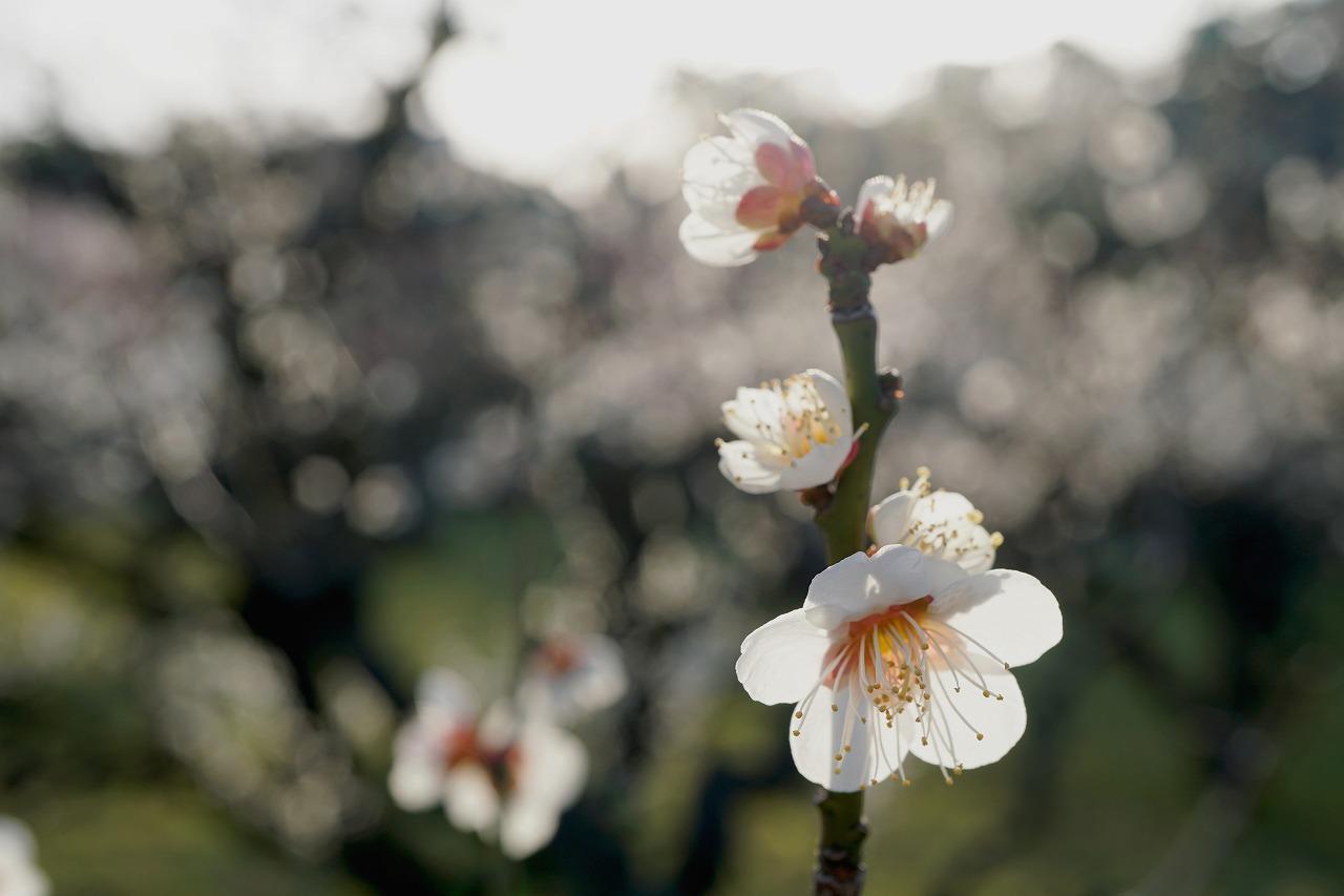続・春の香の梅林