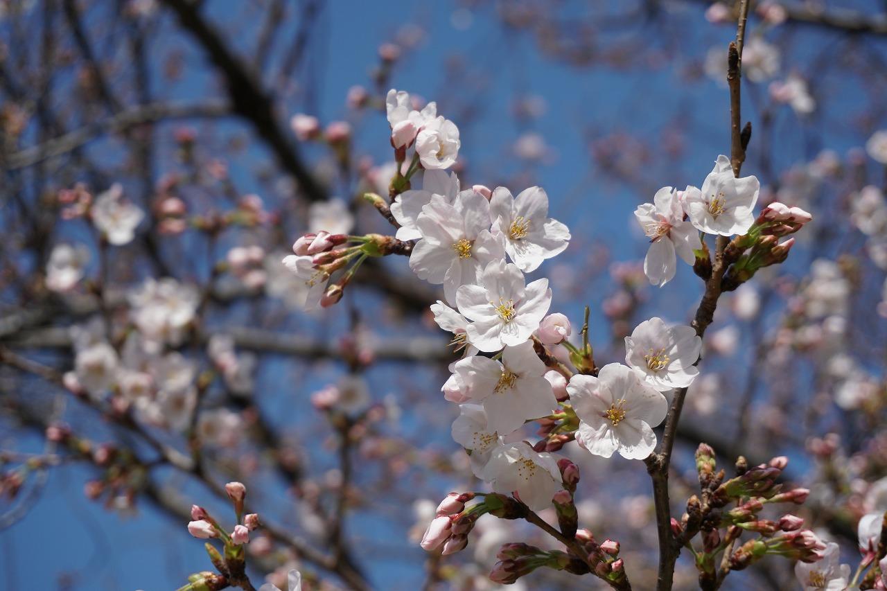 春の香の桜・西の丸庭園